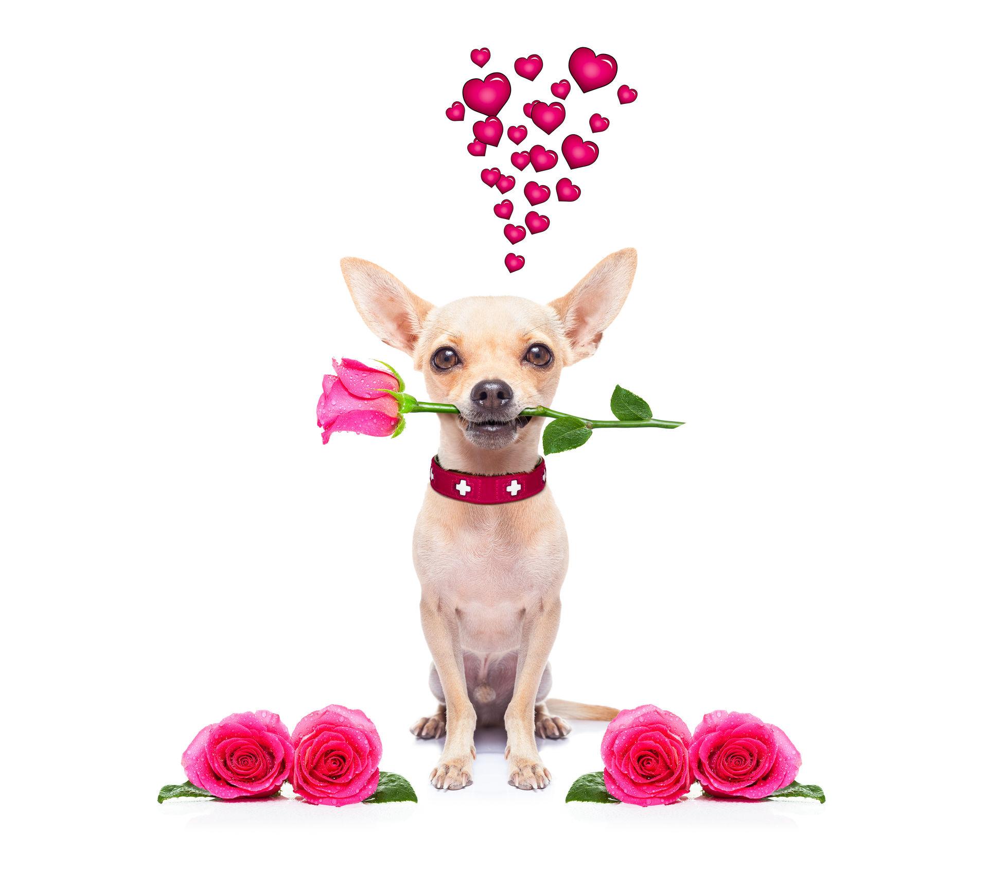 le fond d 39 cran de chien saint valentin le plus beau chien dans les images du monde pour votre. Black Bedroom Furniture Sets. Home Design Ideas