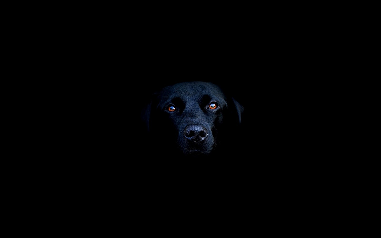 Labrador retriever on a black background